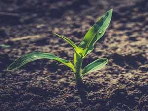 Corn-plant-2.jpg